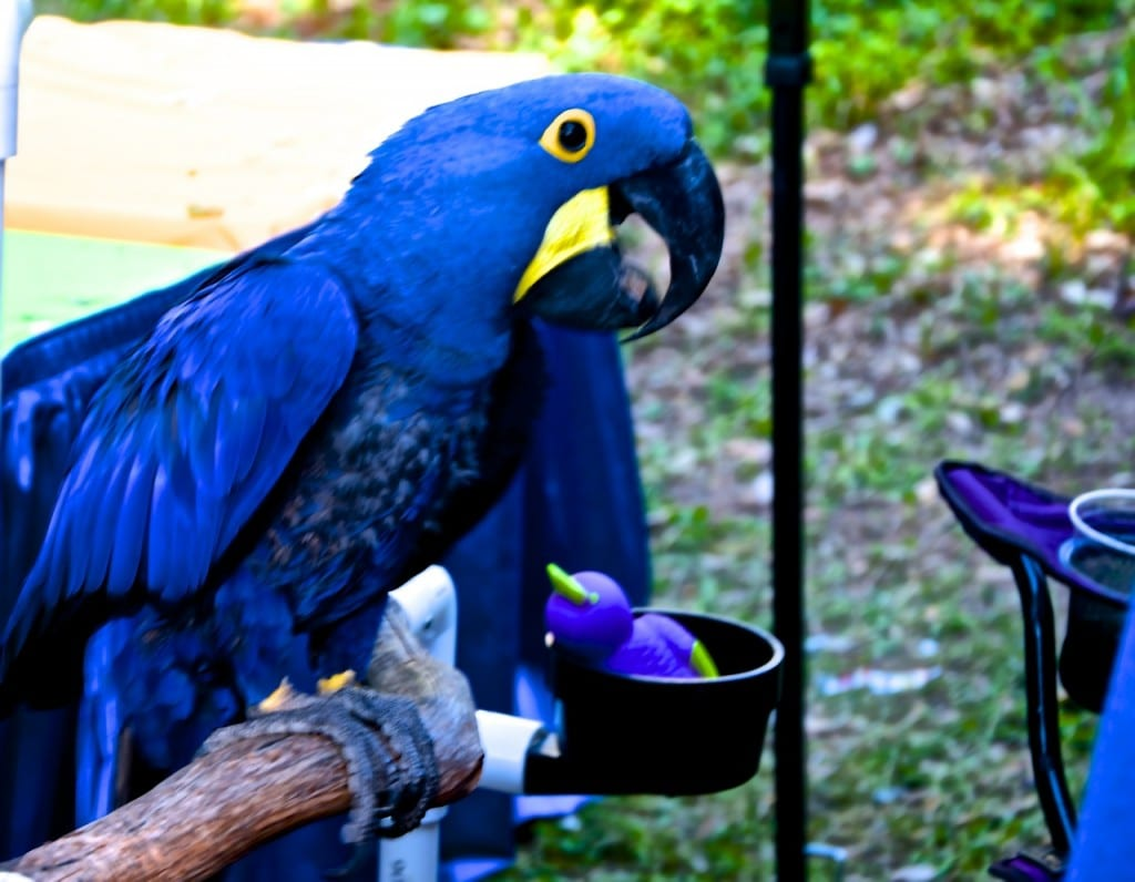 ED2014_Macaw1a