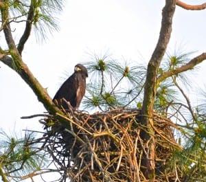 GSP_Bald-Eagle1a