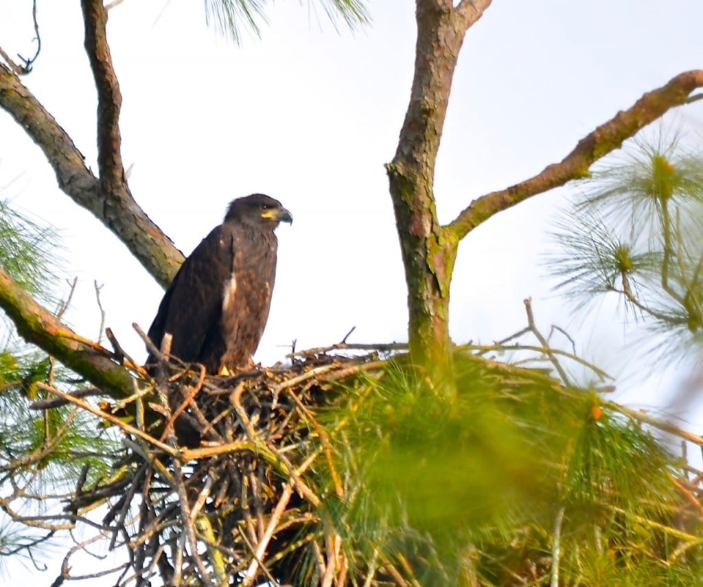 GSP_Bald-Eagle2b