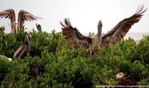 pelicans6-22cbgc