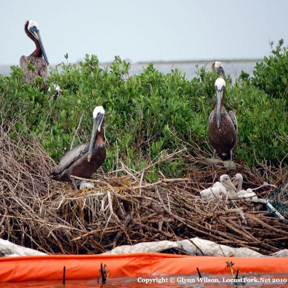 pelicans6-22ebgc2