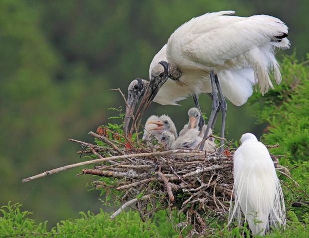 Wood-Storks-ProfileEnlarged
