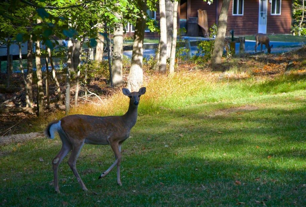 Greenbelt_deer1