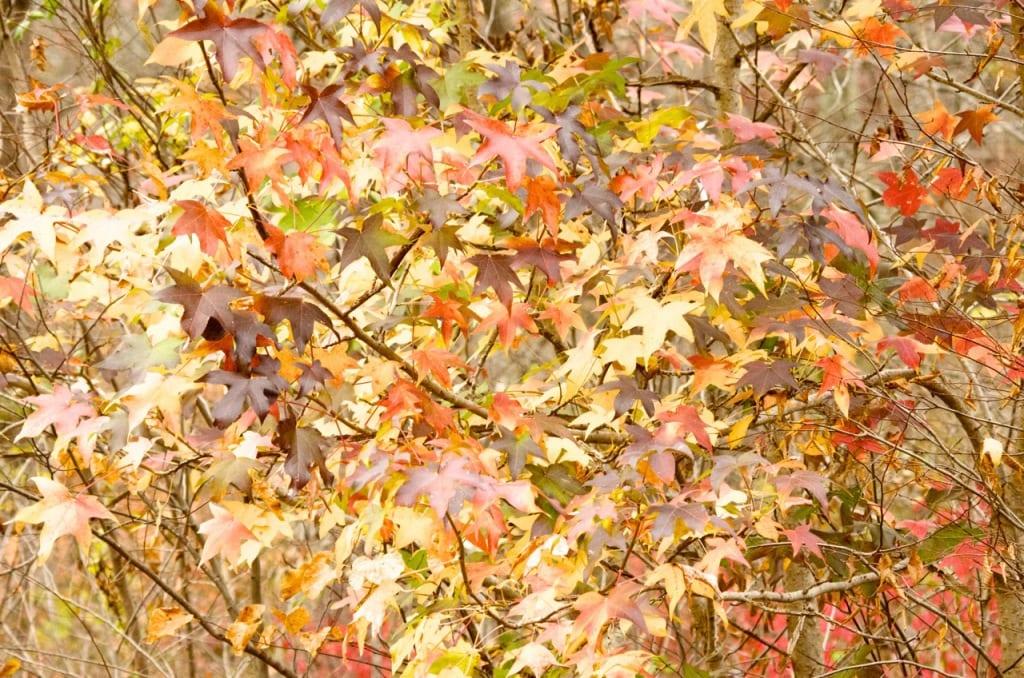 Elizabeth_Furnace-leaves1a