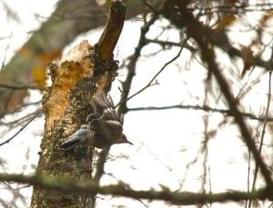 Elizabeth_Furnace-woodpecker1a