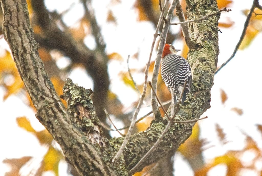 Elizabeth_Furnace-woodpecker1b