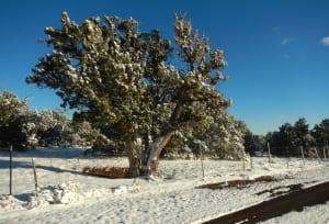 crnes-snow-tree
