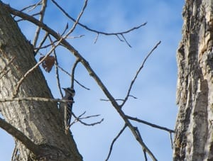 smwoodpecker-fall20141