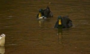 Tannehill-Green_duck1b