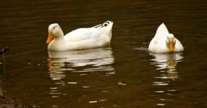 Tannehill-White_ducks1b