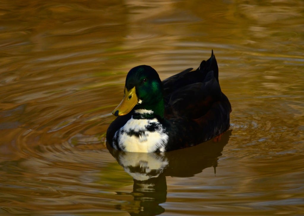 Tannehill_ducks1f
