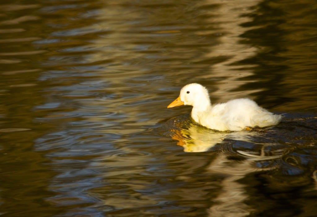 Tannehill_ducks1g