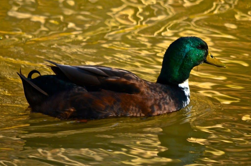 Tannehill_ducks1ib