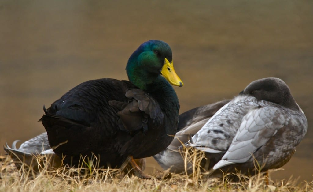 Tannehill_ducks4b