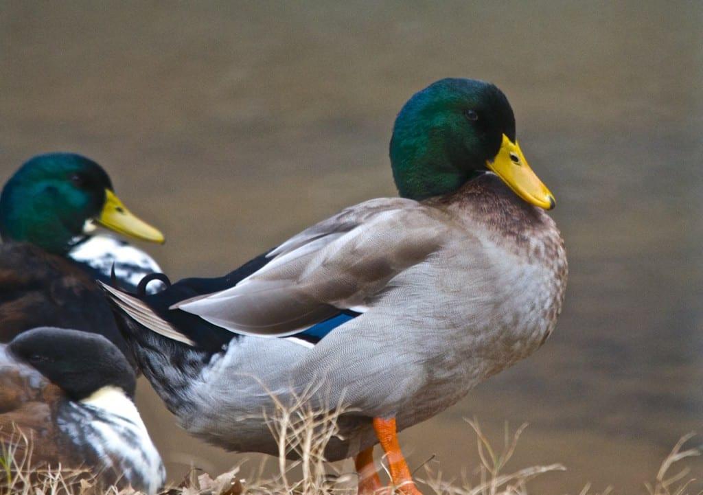 Tannehill_ducks4e