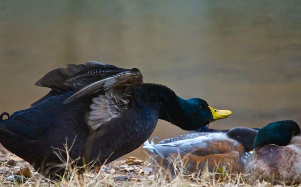 Tannehill_ducks4f