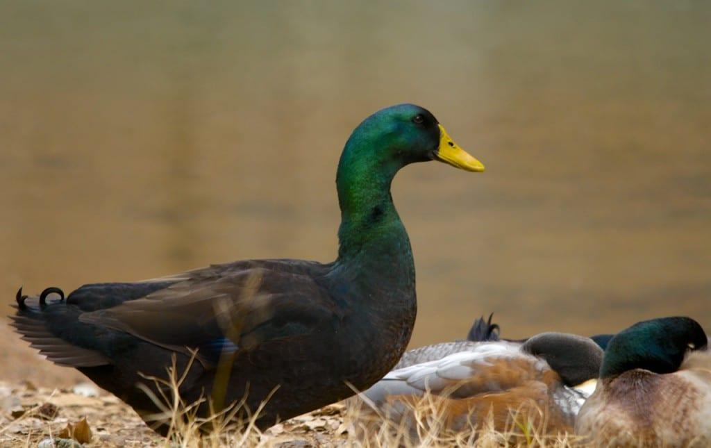 Tannehill_ducks4g1