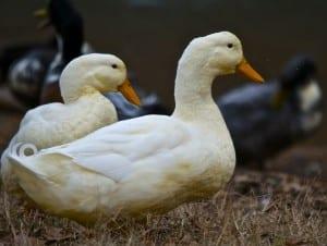 Tannehill_ducks4h