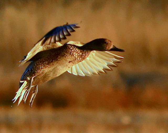 crns-duck-landing