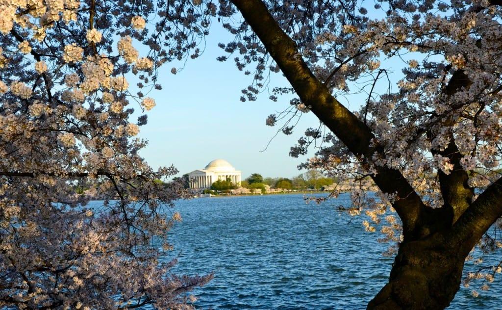 dc_cherry-blossoms1a