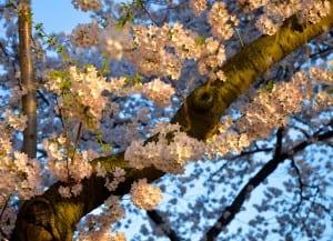 dc_cherry-blossoms1b