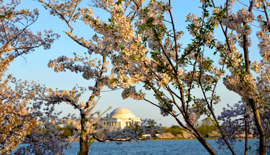 dc_cherry-blossoms1c