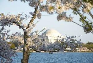 dc_cherry-blossoms1d