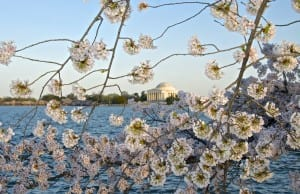 dc_cherry-blossoms1e