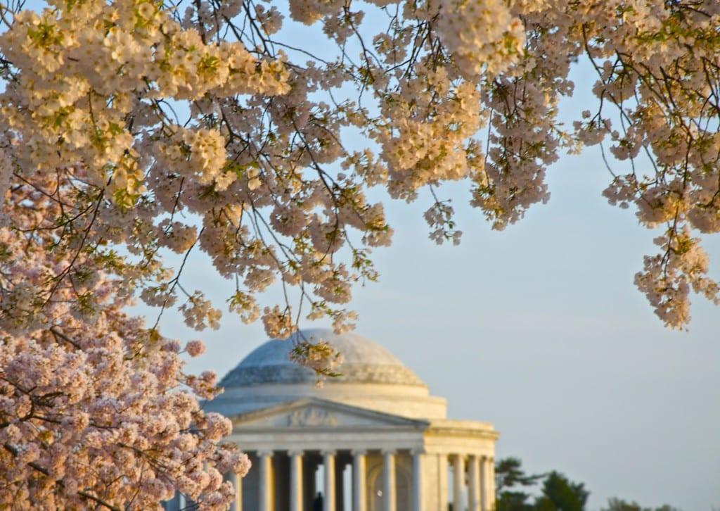 dc_cherry-blossoms1h