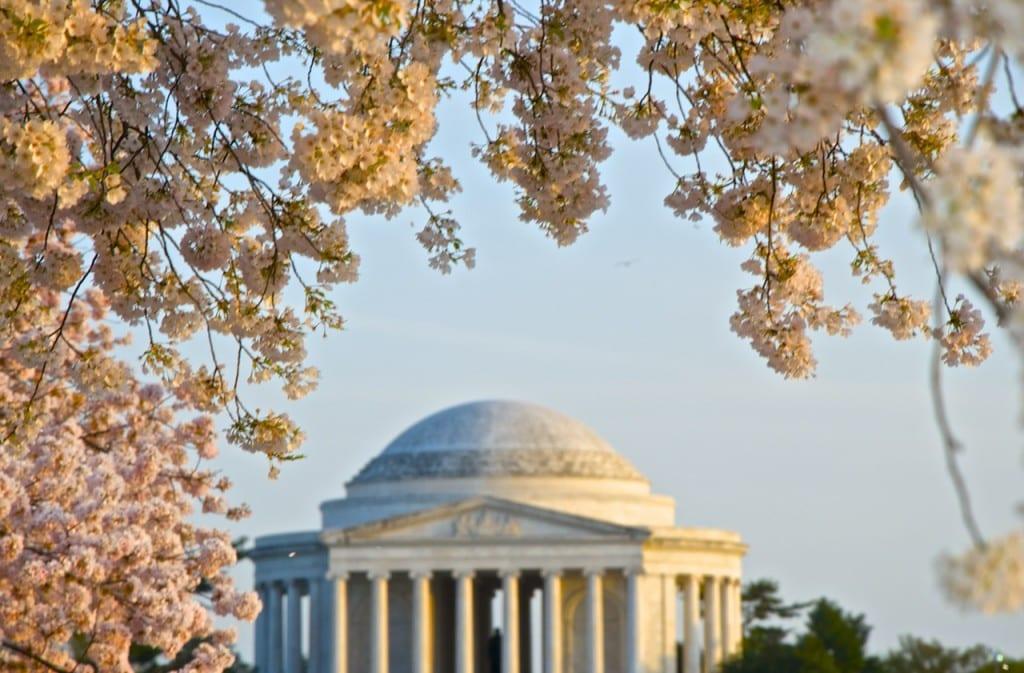 dc_cherry-blossoms1i