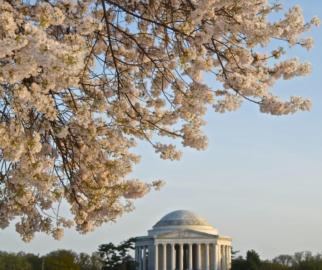 dc_cherry-blossoms1j