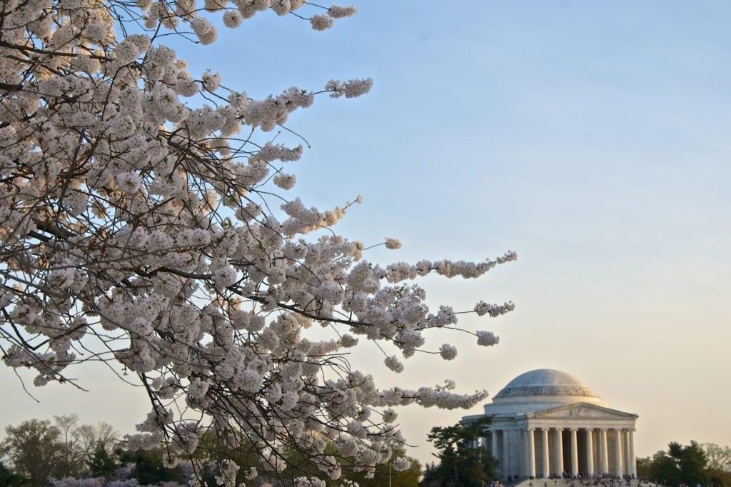 dc_cherry-blossoms1k