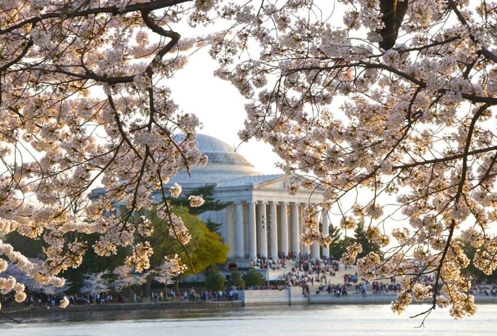 dc_cherry-blossoms1l