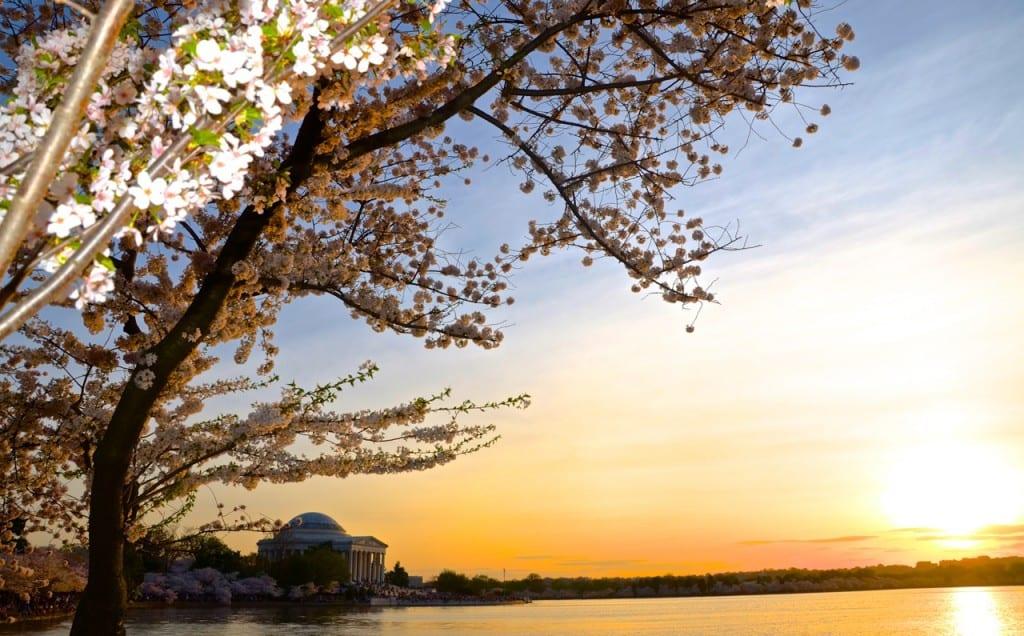 dc_cherry-blossoms1m