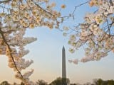 dc_cherry-blossoms1n