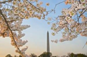dc_cherry-blossoms1n