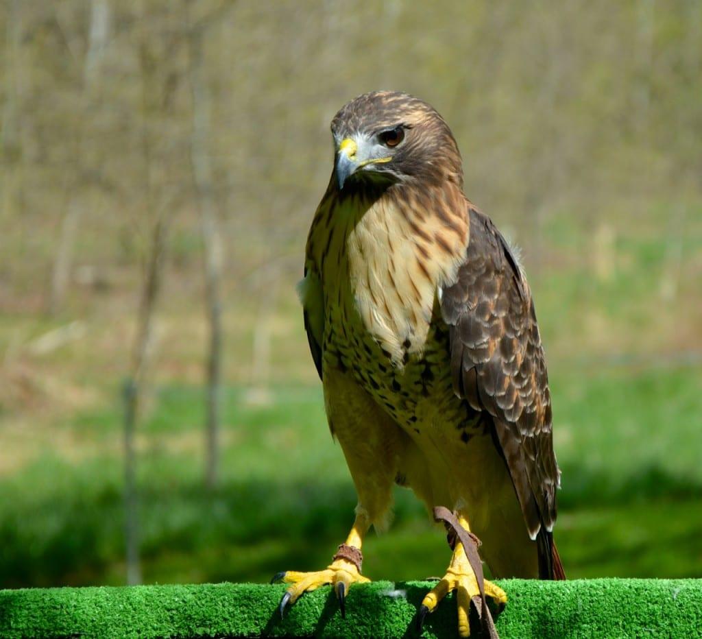 A red-shouldered hawk: Glynn Wilson