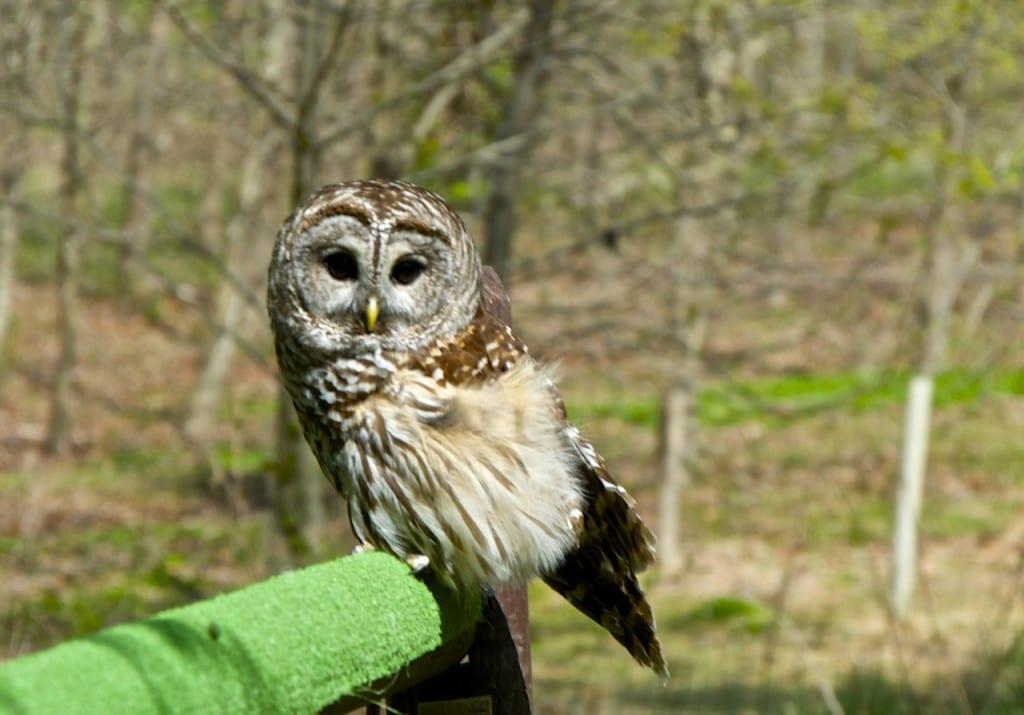 Avalon_owl1
