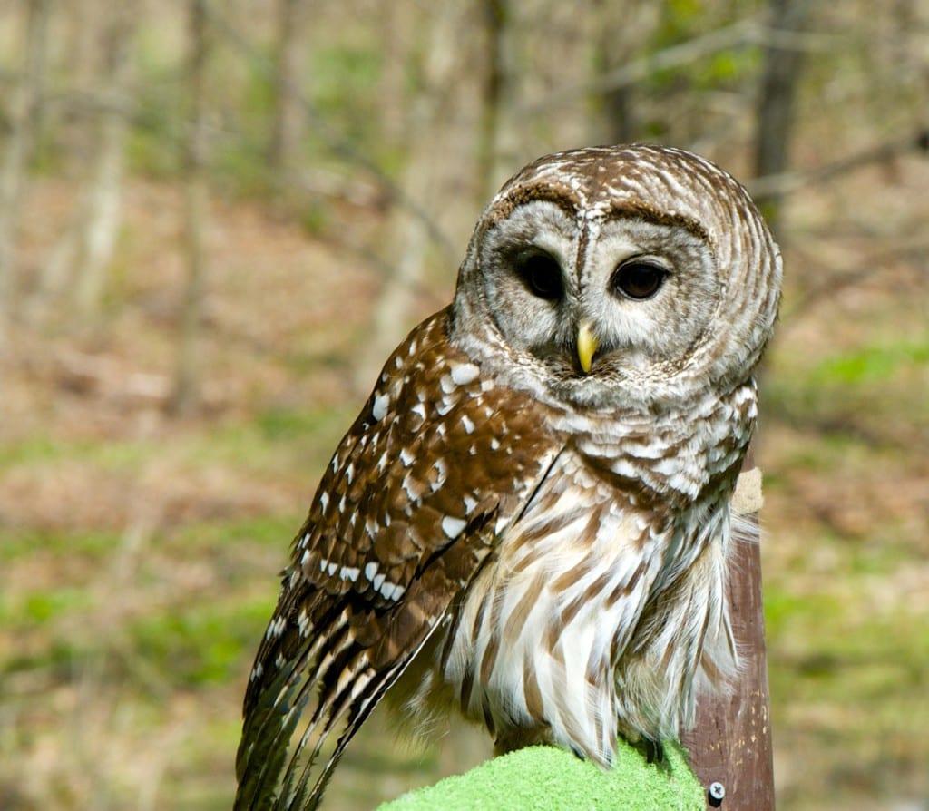 Avalon_owl1b