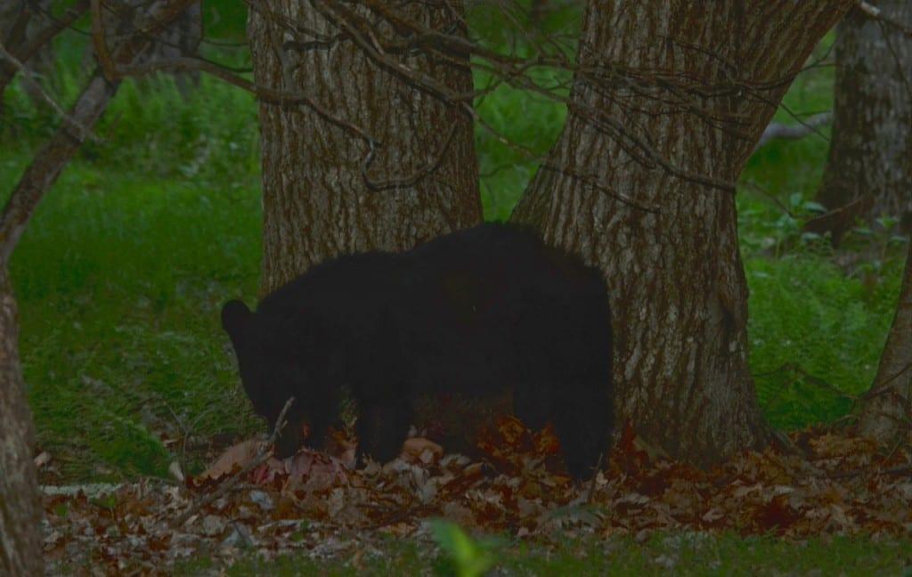BigMeadows_bear-fawn1