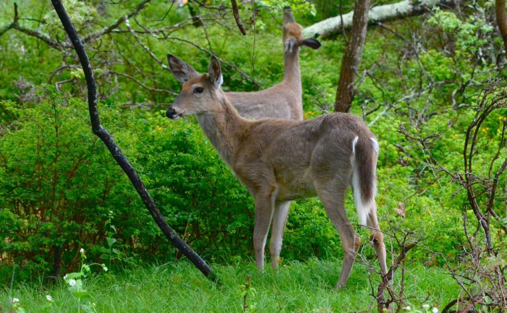 White-tailed deer feeding on the vegitation at the Big Meadows Campground in the Shenandoah National Park: Glynn Wilson