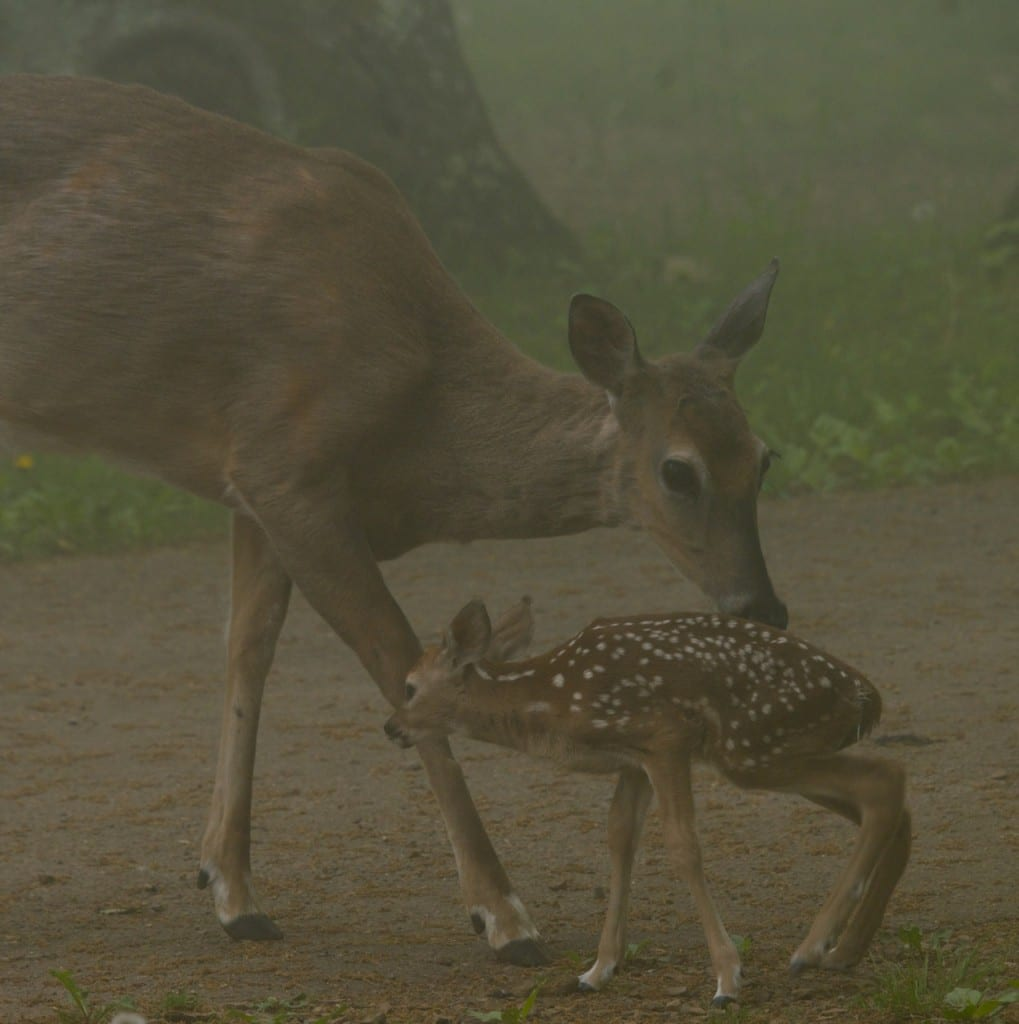 BigMeadows_doe-fawn1a