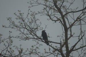 BigMeadows_raven1a