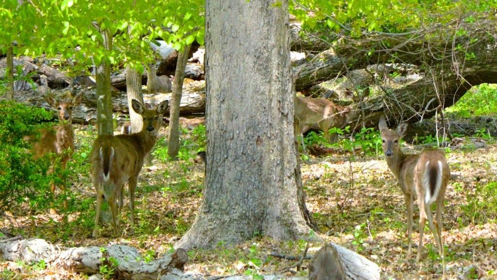 Patapsco_deer123a