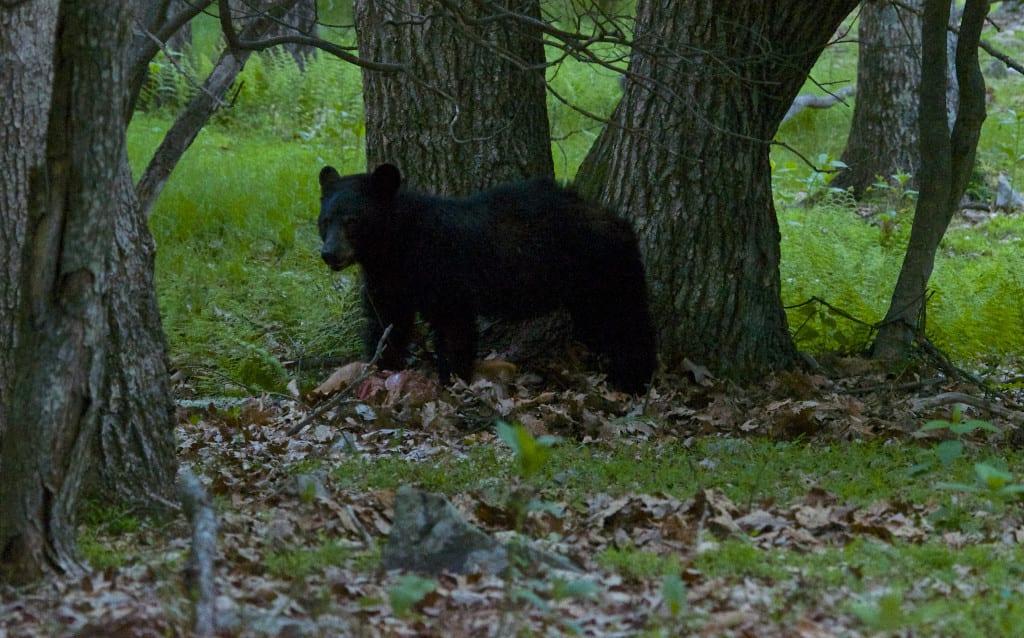Shenandoah_Black-Bear1b