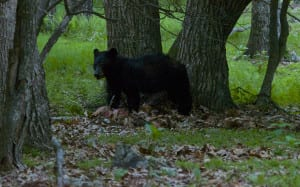 Shenandoah_Black-Bear1b