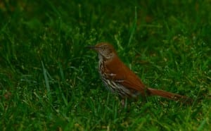 Shenandoah_brown-thrasher53015c1