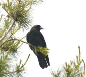 Shenandoah crow1a 300x269 - Shenandoah_crow1a