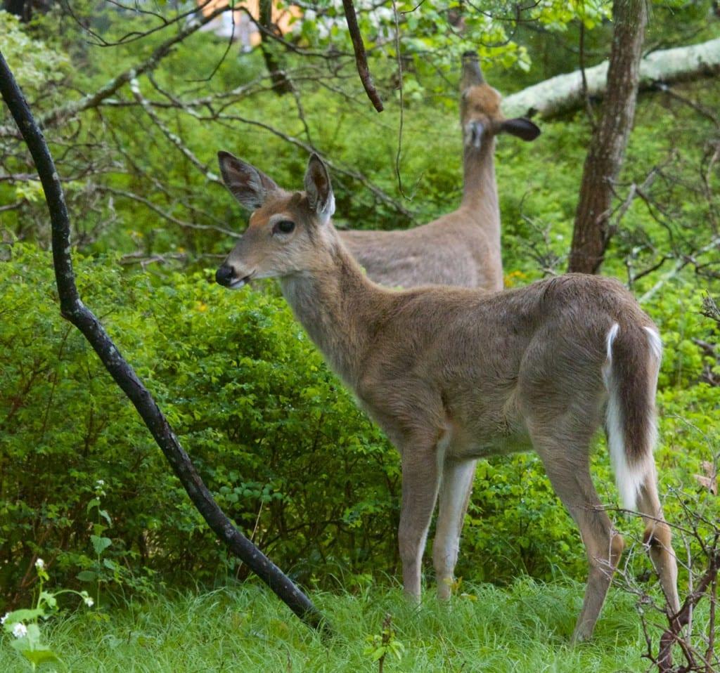 Shenandoah_deer517151