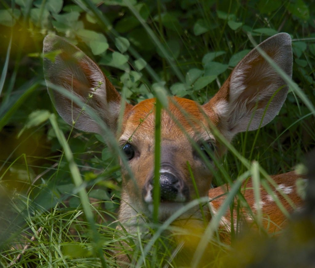 A newborn fawn hiding in the grass in the Big Meadows Campground at Shenandoah National Park: Glynn Wilson